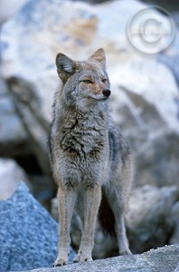 Coyotes roam wild in Jasper.