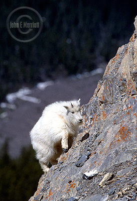 Normally, goats live on dangerous cliffs in Jasper, but at Goat Lick, you'll find them right by the road.